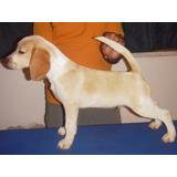 Cachorros Beagles Con Pedigree