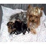 Cachorros Yorkshire Terrier Miniatura