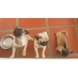 Cachorros Pug Carlino 100% Puros Y Sanos
