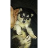Cachorros Husky Siberianos, Lea Bien Descripcion.