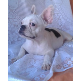 Cachorra Bulldog Frances Con Pedigree F.c.v Y Vacunas