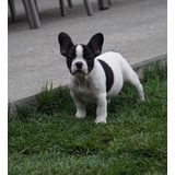 Espectacular Bulldog Frances