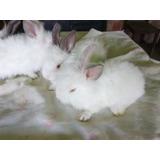 Conejo Crias Orejas Caídas Con Cabeza De Leon Mascota Pdf