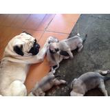 Cachorros Pug Carlino 100% Puros! Padres A La Vista!