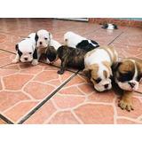Cachorro Bulldog Inglés Con Pedigri
