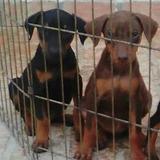 Cachorros A La Venta. Pittbul, Doberman, Jack Russel, Fila B