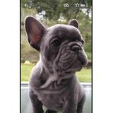 Bulldog Francés Exóticos Blue
