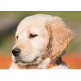 Cachorros Golden Retriver, Crianza Y Entrenamiento.