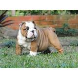 Cachorro Bulldog Inglés Con Pedigri Pregunté Precio