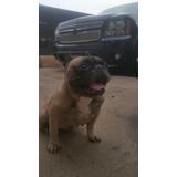 Bulldog Francés 2 1/2 Años