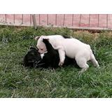 Bulldog Frances Con Pedigri