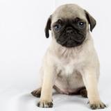 Cachorro Pug Carlino - Lea La Descripción Antes De Ofertar