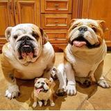 Bulldog Ingles Con Pedigri