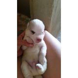 Cachorro Husky