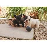 Bulldog Frances Con Pedigree