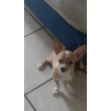 Hermoso Cachorro Chihuahua Puro (macho)