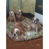 Cachorros Bulldog Ingles Con Pedigree