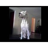 Perro Dogo Argentino