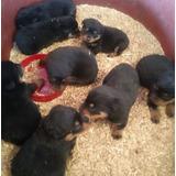 Cachorros Rottwailer