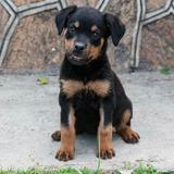Perros Raza Rottweiler Cachorros Venta Nacidos El 16-12