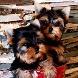 Yorkshire Terriers Miniaturas  Machos Solo Machos