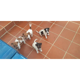 Vendo Cachorros Jack Russell