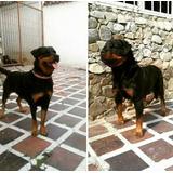 Cachorros Rottweiler Con Pedigree  2 Hembras En 250 Verdes