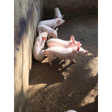 Cerdos Lechones Raza P . I . C