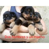 Cachorros Rottweiler Vacunados, Cola Corta En 200