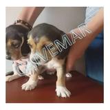 Hermosos Beagles Tricolor, Garantia Veterinaria