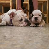 Cachorro Bulldog Inglés Con Pedigree