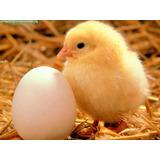 Pollos Bebes Para Engorde