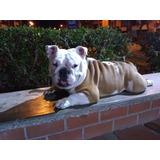 Bulldog Ingles Para La Monta.