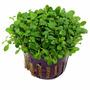 Glossoestigma Elatinoides. Plantas Para Acuarios