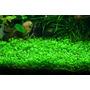 Glossostigma Elatinoides Plantas Para Acuario
