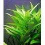 Hygrophila Corymbosa Planta Natural De Acuario Pecera