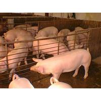 Proyecto Criadero De Cerdos A Nivel Industrial.