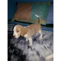 Cachorras Raza Beagles ( Dos Hembras Bicolor)
