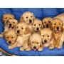Cachorros De Golden Retrivien