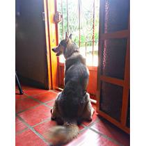 Husky Siberiano 100% Puro (para La Monta)