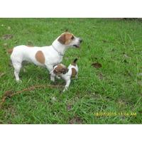Hermosos Cachorros Jack Russell Terrier Patas Cortas