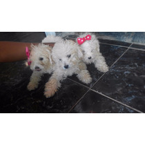 Perros Poodles 2 Mese De Nacidos