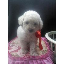 1 Bella Cachorrita Poodle Toy Color Blanco