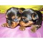 Hermosos Cachorros Yorkshire Linea Mini Garantizado!!!