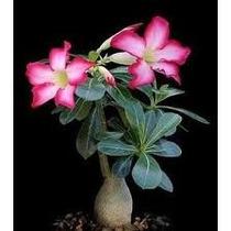 Planta Mata Rosa Del Desierto Adenium Obesum