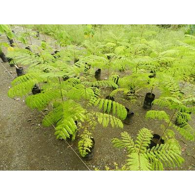 Arbolitos de flamboyant azul guia de cultivo bonsai jardin - Arbolitos para jardin ...